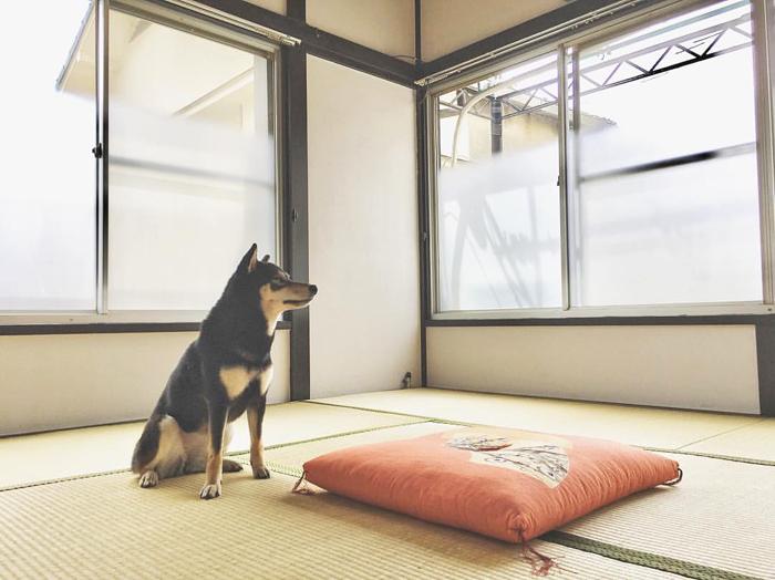 Asca-Go-Chuken-Kiku-Kensha-Japon-Japan-elevage-shiba-inu