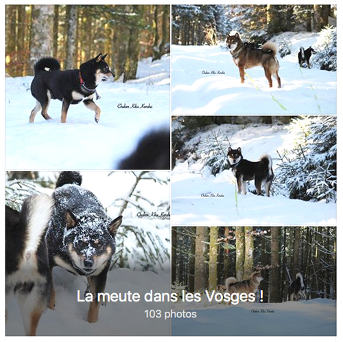 sejour-vacances-shiba-inu-chuken-kiku-kensha-elevage-CKK-snow-photo-doge