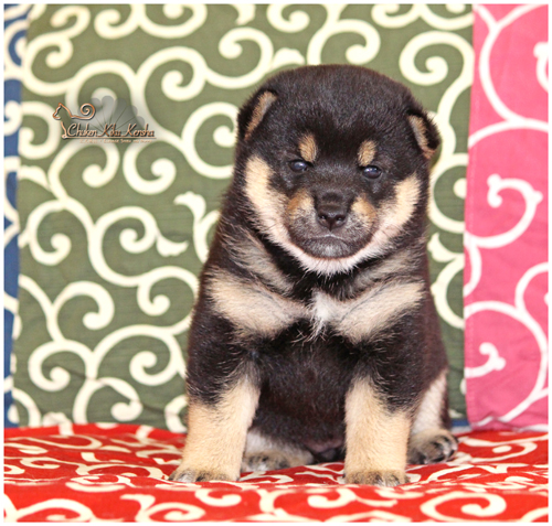 Chiot-puppy-shiba-inu-black-noir-femelle-female-CKK-elevage-kuroshiba-chuken-kiku-kensha