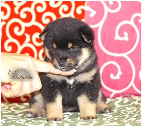 Chiot-puppy-shiba-inu-black-noir-femelle-female-CKK-elevage