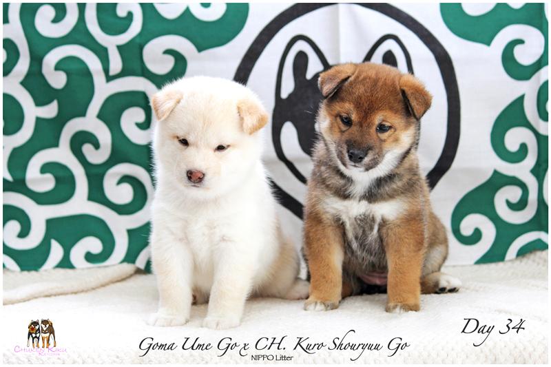 chiot-shiba-inu-goma-sesame-ckk-elevage-nippo-puppies