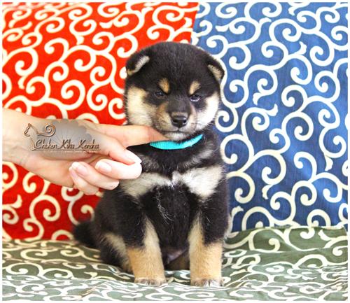 Chiot-shiba-inu-puppy-male-black-tan-noir-kuroshiba-Kiko-Nanaki-nananishiki-bloodline-nippo-Ninkyou-elevage-Chuken-Kiku-Kensha-CKK-kennel