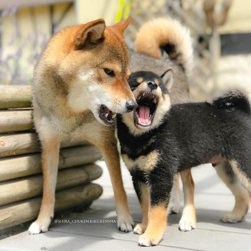 Chiot-socialisation-congenere-chien-meute-shiba-inu-fratrie-elevage-CKK-hierarchie-dominance-soumission
