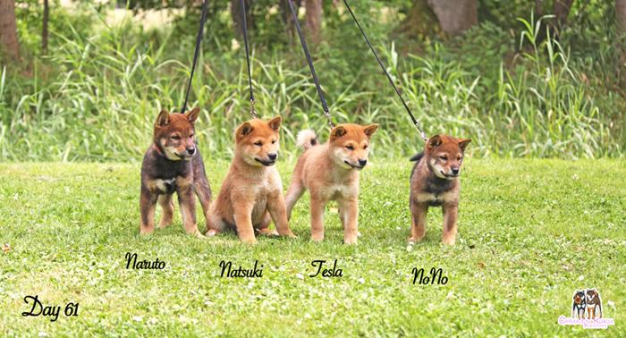 chiots-puppies-shiba-inu-ckk
