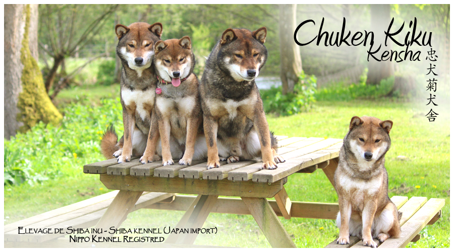 chuken-kiku-kensha-elevage-shiba-inu-CKK-sesame-goma-nippo-japan-import