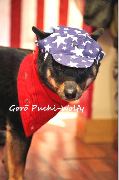 Goro-shiba-inu-CKK-chien-japonais