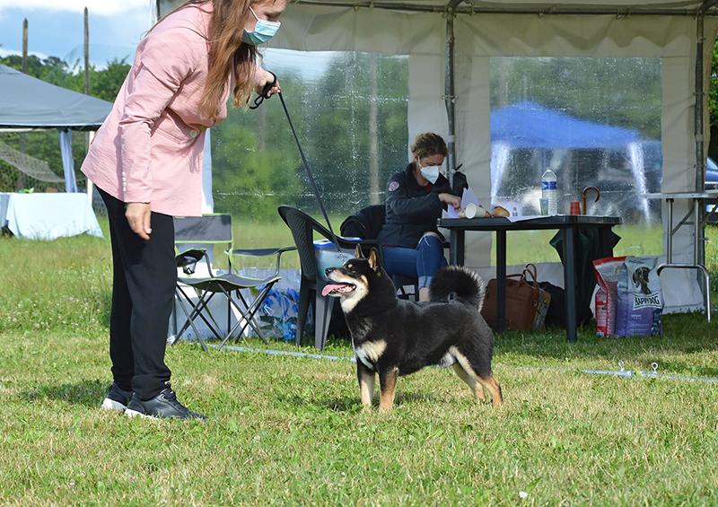 GORO-shiba-inu-noir-expo-canine-regionale-elevage-Chuken-Kiku-Kensha-Meilleur-Veteran-BIS-2021-bretagne-lalleu-CKK-dogshow