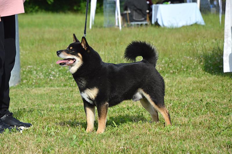 GORO-shiba-inu-noir-exposition-canine-regionale-elevage-Chuken-Kiku-Kensha-Meilleur-Veteran-BIS-2021-bretagne-lalleu-CKK