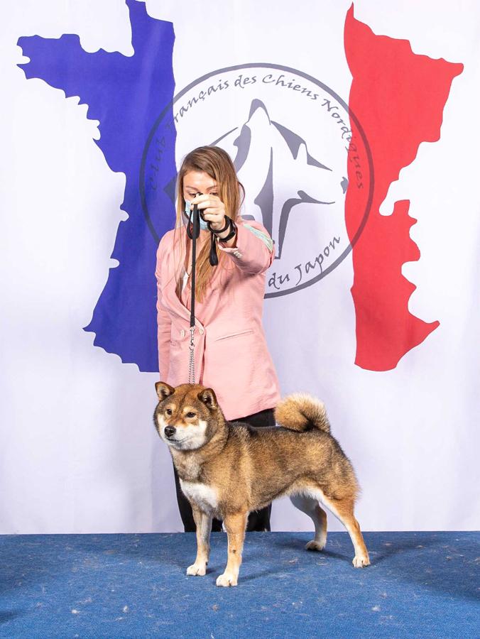 Goma-Ume-go-Nidai-Yasugi-shiba-inu-sesame-female-femelle-stud-nationale-elevage-expo-canine-CFCNSJ-dog-show-BOB-veteran-champion-Chuken-kiku-kensha-CKK-japan-import-japon-club-race-elite-A