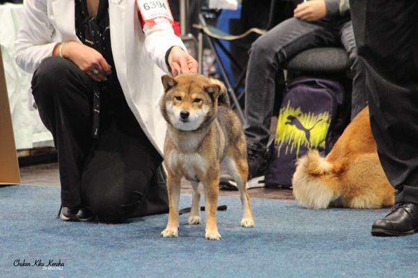goma-ume-sesame-goma-shiba-inu-female-world-dog-show-leipzig