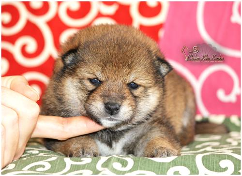 Goma-shiba-inu-sesame-chiot-puppy-femelle-female-chuken-kiku-kensha-elevage-CKK-stud-nippo-nananishiki-chien-japonais