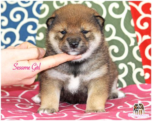 goma-shiba-inu-sesame-puppy-chiot-CKK-nippo