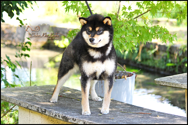 HIME-Megumi-no-hime-go-fujikino-Michikarasou-shiba-inu-black-tan-kuroshiba-female-femelle-nippo-hamaryuu-japan-import-japon-saillie-prevision-portee-chiot