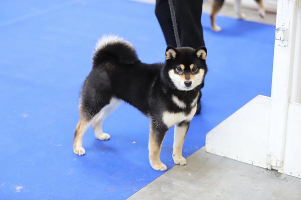 Hime-shiba-inu-female-femelle-black-tan-kuroshiba-dogshow-paris-dog-show-expo-canine-BOS-nippo