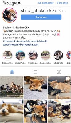Instagram-IG-insta-Shiba-inu-Chuken-Kiku-Kensha-elevage-kennel-japanese-dog-chien-japonais-shibe-shibackk-shibaken-shibalove-shibalife-shibamania-puppy-puppies-chiot-fluffy-cute-kawaii-doge-mame-sesame-squeezie-natsu