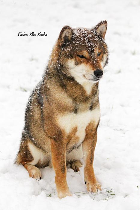 JIN-shiba-inu-sesame-goma-chien-japonais-CKK