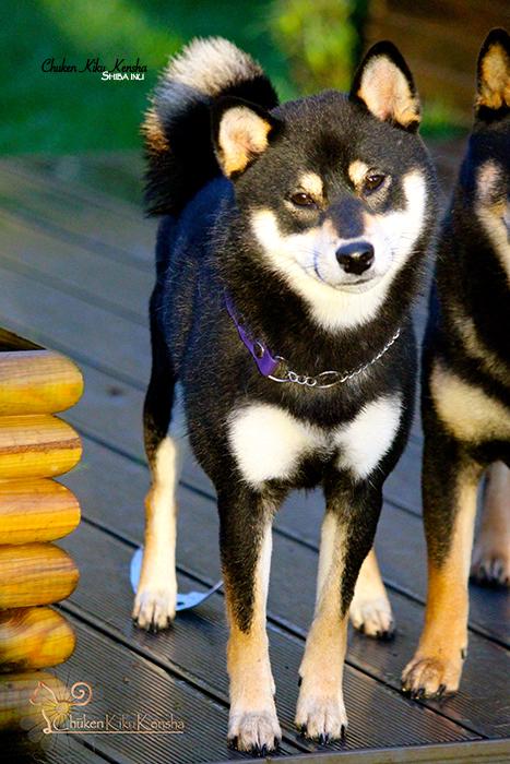 JYUJYU-shiba-inu-chien-japonais-CKK