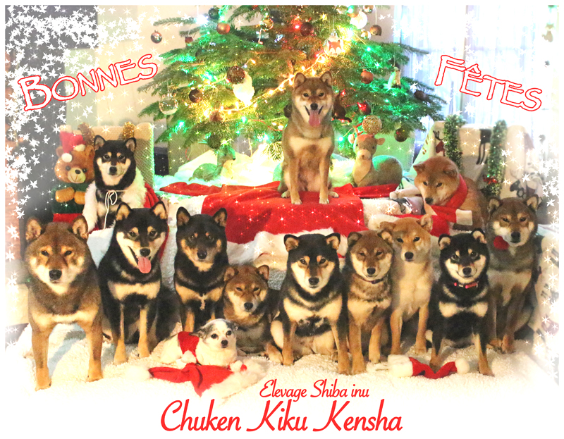 Noel-christmas-shiba-inu-Chuken-Kiku-Kensha-elevage-CKK-chien-japon-kawaii-japan-dog
