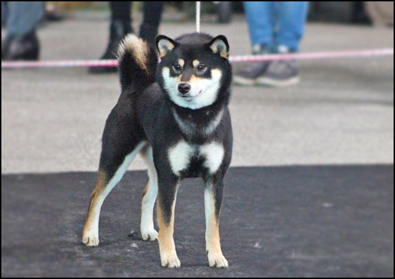 JyuJyu-go-CKK-shiba-inu-female-black-tan-nippo-registered