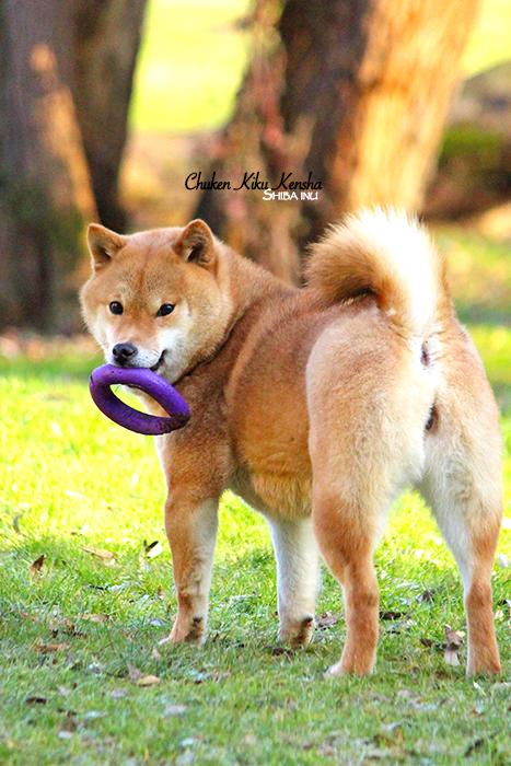 KAYO-shiba-inu-CKK-chien-japonais