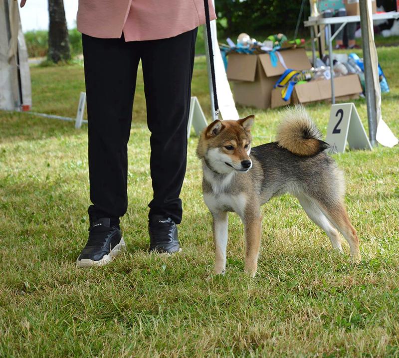 KOUME-Ryouma-Higo-Giku-Go-Chuken-Kiku-Kensha-shiba-inu-femelle-sesame-goma-female-young-junior-expo-canine-regionale-elevage-bretagne-lalleu-CKK-2021