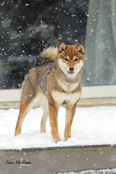 KOUME-goma-shiba-inu-sesame-chien-japonais-shikoku-gris-loup-CKK-wolf-japanese-dog