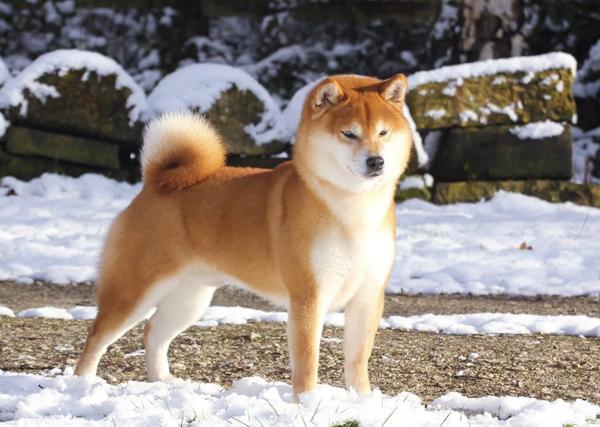 Kaga-no-Shouji-Go-Sapporo-Kagasou-Vormund-kennel-japan-import-stud-male-champion