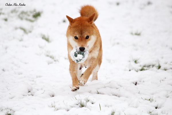 Kayo-shiba-inu-renard-fox-elevage-CKK