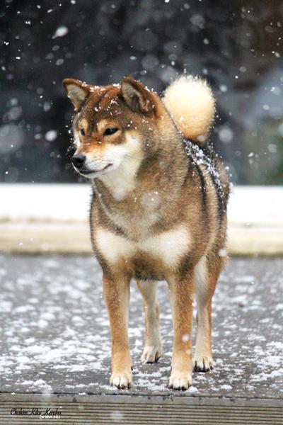 Kiko-snow-neige-sesame-goma-shiba-inu-CKK