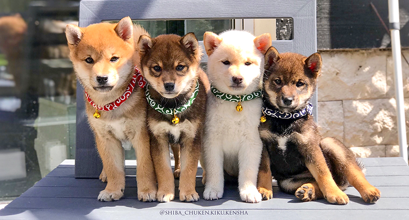 Kit-Chiot-Shiba-inu-CKK-elevage-Chuken-Kiku-Kensha-collier-japonais-karakusa-clochette-porte-medaille-sesame-goma-roux-fauve-blanc-puppies