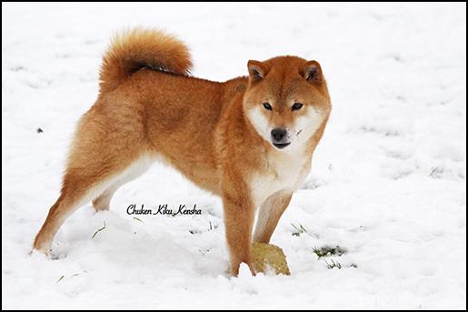 Koshiwano-Kayo-Shiba-inu-japan-import-japon-rousse-red-roux-femelle-female-saillie-lice-chuken-kiku-kensha-elevage-CKK-repro-prevision-portee-chiot-puppy