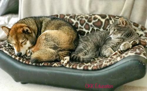 Langage-du-chien-Shiba-inu-CKK-Signaux-apaisement-Emotion-Comprendre-interpreter-Code-Canin-conflit-chat-cohabitation-cohabiter-solitude