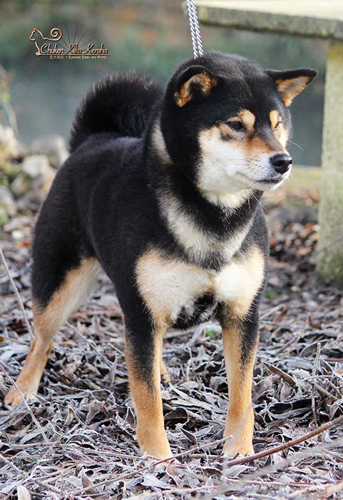 MABUKI-shiba-inu-CKK-chien-japonais