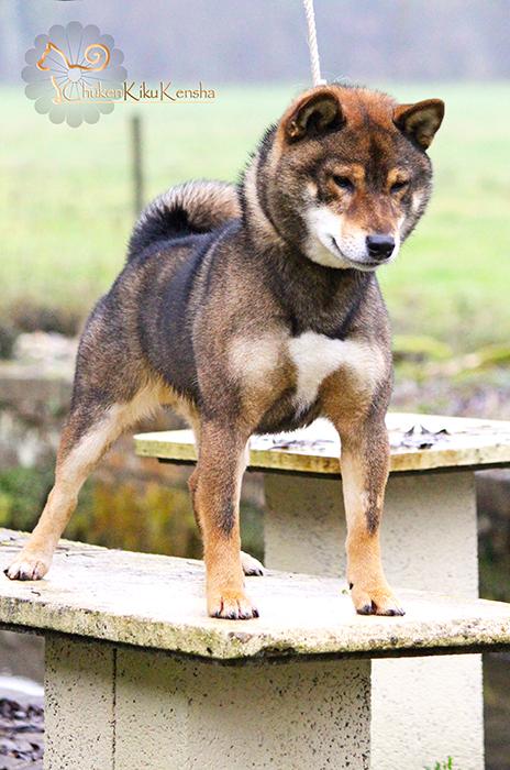 Musashi-shiba-inu-goma-sesame-chien-japonais-CKK
