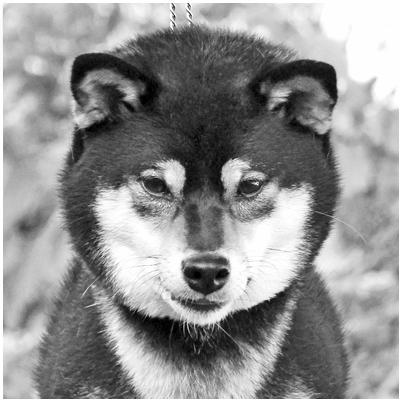 Mabuki-noir-black-kuro-shiba-inu-femelle
