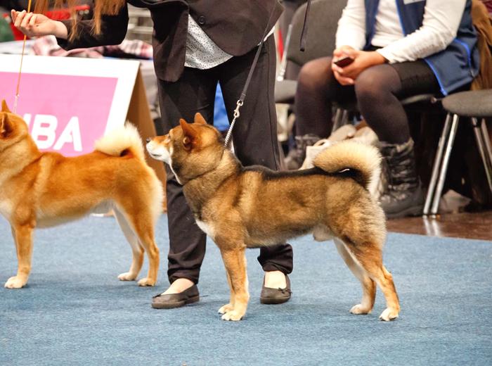 Musashi-world-dog-show-leipzig-shiba-inu-excellent-male-sesame-goma