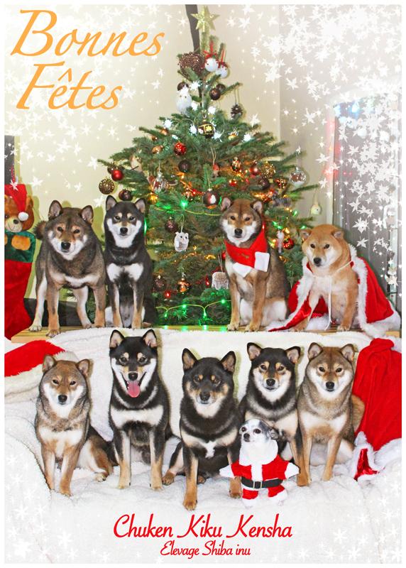 christmas-noel-shiba-inu-chuken-kiku-kensha-elevage-CKK