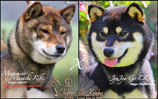 Champion-sesame-goma-shiba-inu-Musashi-nippo-litter-JyuJyu-puppy-chiot