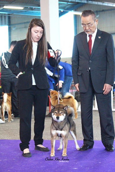 Musashi-goma-shiba-inu-sesame-male-stud-juge-japonais-japanese-judge-Kawakita-best-champion-CKK-elevage-japan-import-japon