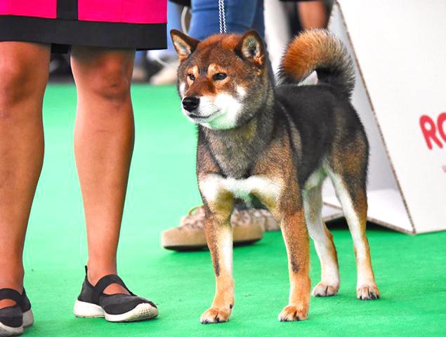 Musashi-world-dog-show-amsterdam-2018-championnat-du-monde-shiba-inu