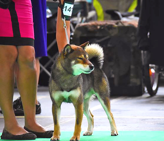 Musashi-world-dog-show-amsterdam-2018-championnat-du-monde-shiba-inu-male