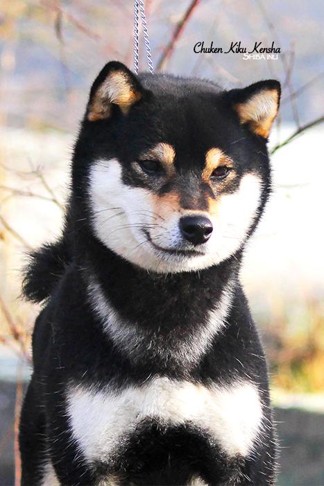 NANAKI-shiba-inu-chien-japonais-CKK