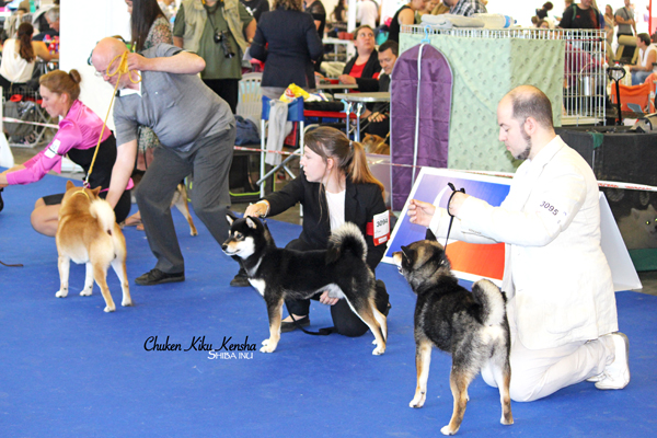 NANAKI-shiba-inu-black-tan-noir-feu-male-championnat-de-france-expo-2019-championship-paris-dog-show-stud-japan-import-japon-nananishiki-elevage-CKK