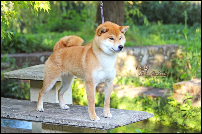 NOBUKO-NobuTora-Kigiku-Go-CKK-shiba-inu-elevage-prevision-portee-femelle
