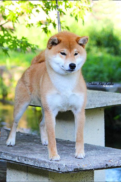 NOBUKO-shiba-inu-CKK-chien-japonais