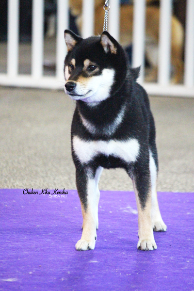 Nanaki-male-shiba-inu-nationale-show-speciale-de-race-best-of-breed-juge-japonais-japanese-judge-Kawakita-chuken-kiku-kensha-elevage