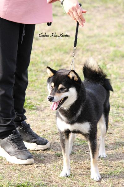 Nanaki-shiba-inu-male-japan-import-japon-nananishiki-CKK-regionale-elevage-dogshow-BOS-stud-black-tan-kuroshiba-nippo