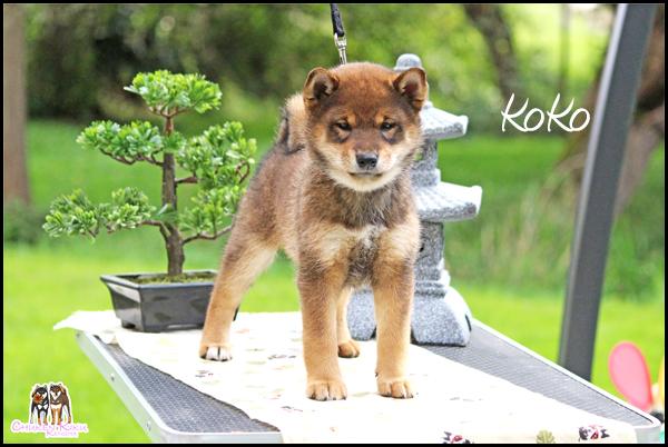Natsugiku-Kogoma-Go-Chuken-Kiku-Kensha-KoKo-female-sesame-goma-shiba-inu-nippo-femelle-elevage-CKK