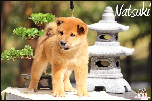 Natsuki-Go-Chuken-Kiku-Kensha-elevage-CKK-male-roux-copropriete