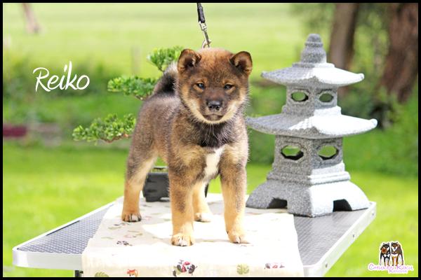 Natsuko-Rei-Go-Chuken-Kiku-Kensha-femelle-sesame-goma-shiba-inu-elevage-CKK